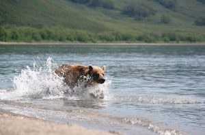 bear with summer coat to help stay cool