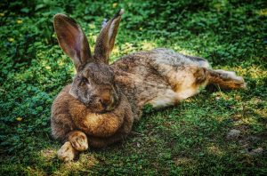 rabbit using its ears to keep cool